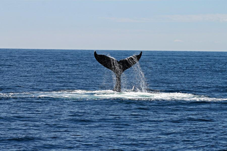 best-whale-and-dolphin-watching-tenerife-spots